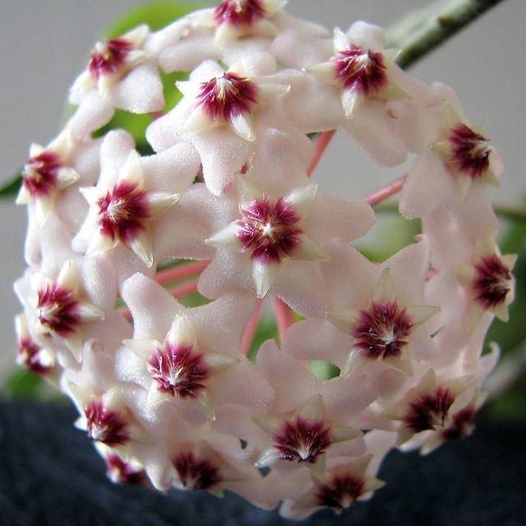 Fiore di cera hoya carnosa for Pianta di cera