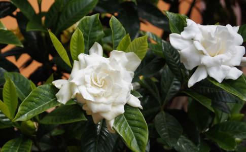 Piante da appartamento guida al giardinaggio - Gardenia pianta da giardino ...