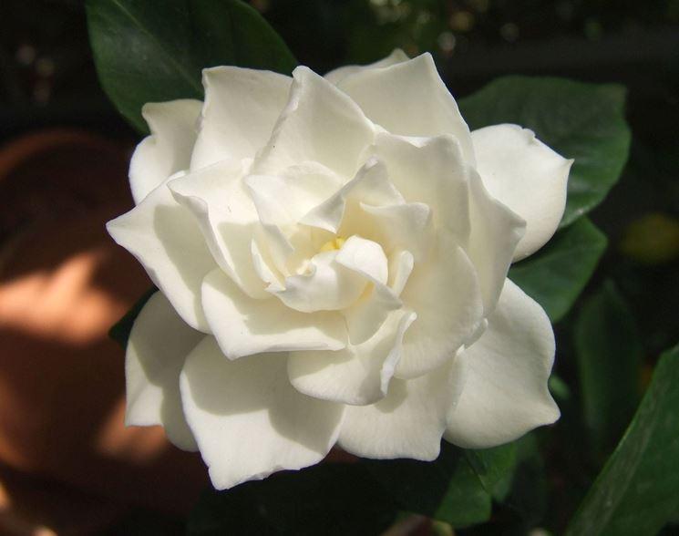 gardenia_1