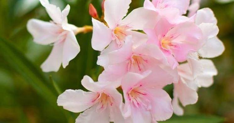gardenia_2