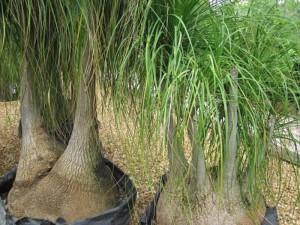 pianta mangifumo