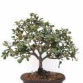 bonsai quercia