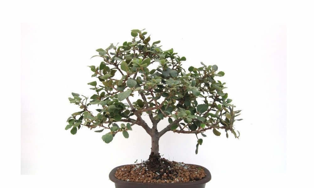 bonsai di quercia curiosit e consigli utili
