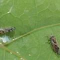 Cacopsylla pulchella