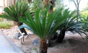 pianta cycas