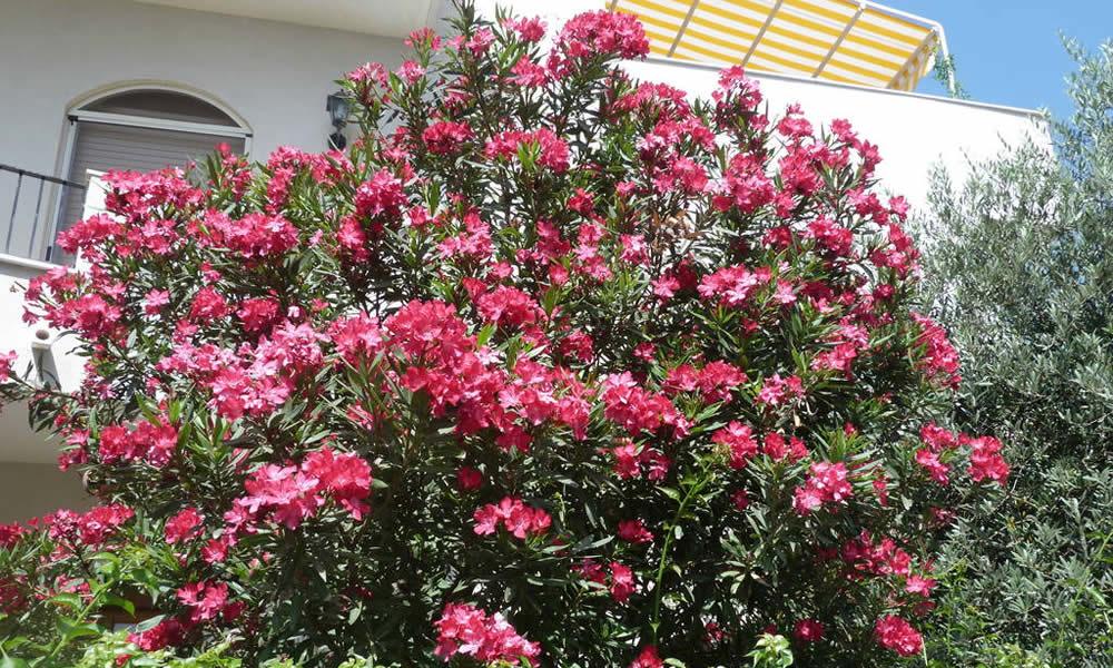 Oleandro l 39 arbusto sempreverde pi coltivato - Sempreverde da giardino ...