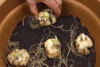 come-coltivare-in-casa-o-in-giardino-il-giglio_65d3d3c3435e379ef2244a1a62c9cc52