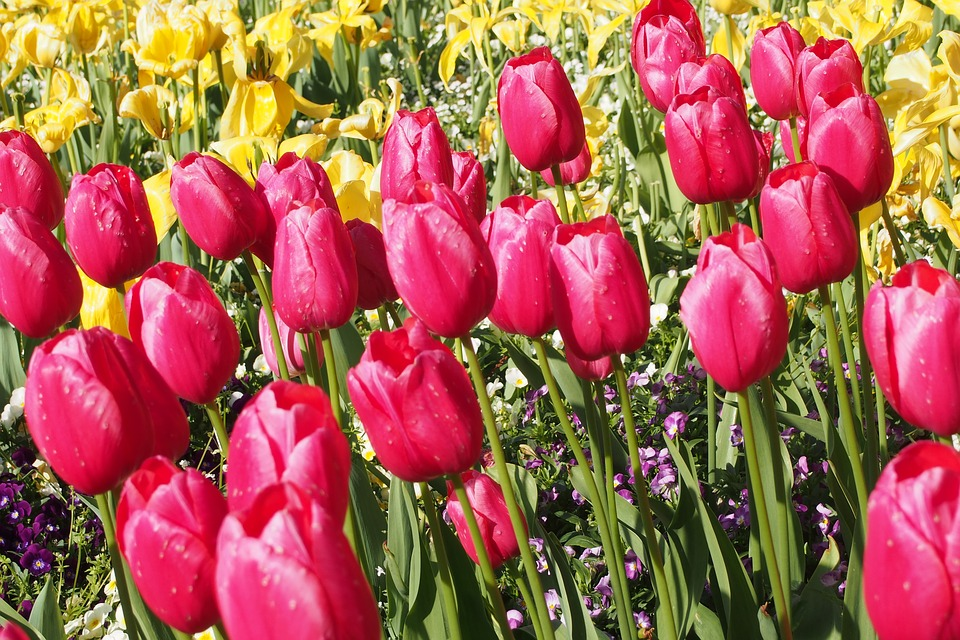 tulipani e narcisi