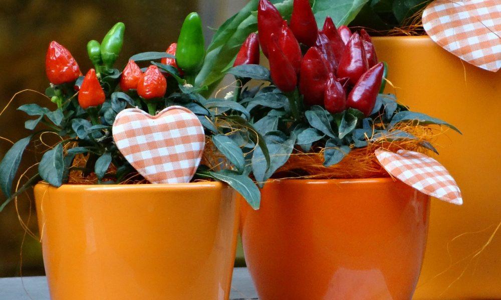 Come coltivare il peperoncino sul balcone di casa propria