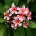 Come coltivare piante esotiche plumeria