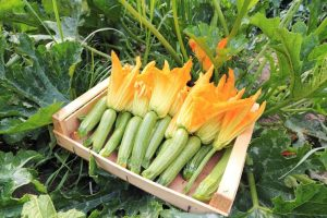 pianta di zucchine foto in evidenza