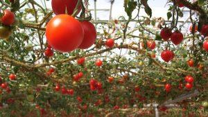pomodori rampicanti