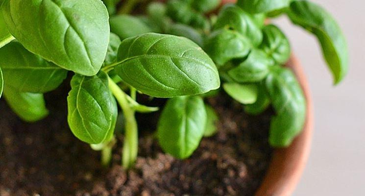 Come coltivare il basilico in vaso for Basilico vaso