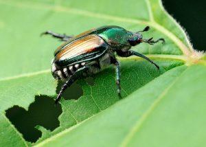 insetti da giardino più distruttivi-coleotteri