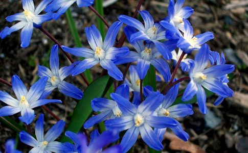 5 bulbi dalle tonalità blu da piantare in autunno