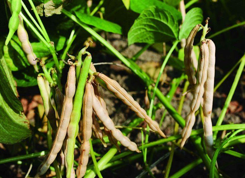 come coltivare fagioli