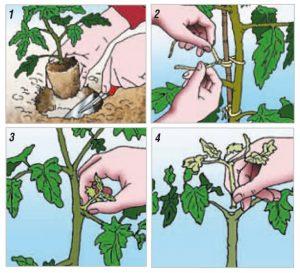 la potatura dei germogli dei pomodori