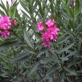 piante tossiche oleandro