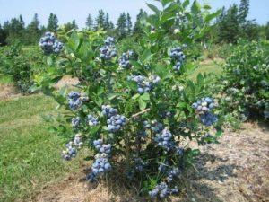 coltivare mirtilli in casa
