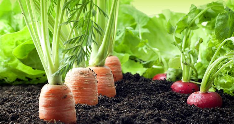 come coltivare le carote nell'orto