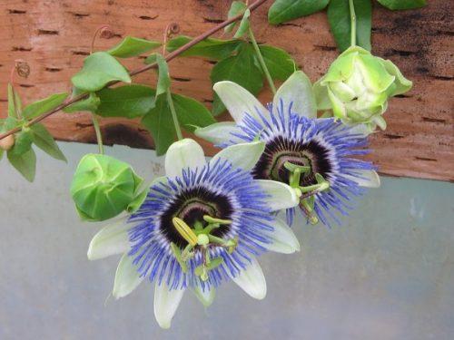 passiflora pianta rampicante