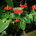 anthurium rosso