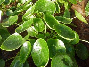 house plants pilea pepeomioides