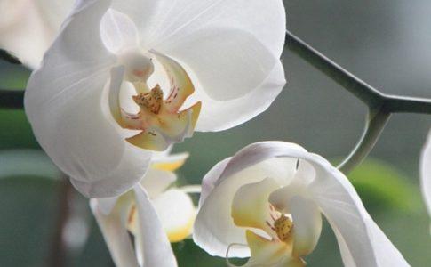 curare orchidea in casa