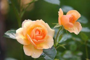 cura delle rose