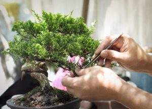 come curare i bonsai