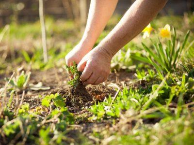 togliere le erbacce in giardino